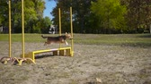 pooch : Mongrel dog jumping at obstacle