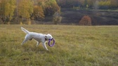 yellow dog : golden retriever running on field with puller Stock Footage