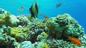 pseudanthias squamipinnis : Underwater coral reef with tropical fish