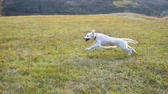 yellow dog : golden retriever running on field, slow motion Stock Footage