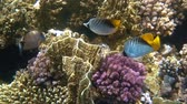 tropical fish feed on a coral reef in the Red sea