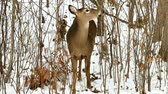 país das maravilhas : White-tailed deer, Odocoileus virginianus, doe eating twigs and leaves in winter on snow