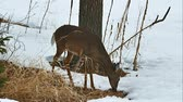 país das maravilhas : White-tailed deer, Odocoileus virginianus, doe eating twigs and leaves in winter on snow in Bemidji Minnesota