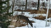 país das maravilhas : White-tailed deer, Odocoileus virginianus, eating twigs and leaves in winter on snow in Bemidji Minnesota