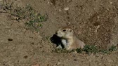 eats : Prairie dog, Cynomys ludovicianus, at burrow entrance looking cautiously around then going into burrow