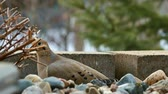 feeder : Mourning dove, Zenaida macroura, eating among rocks in Bemidji Minnesota