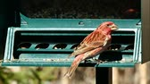 teremtmény : Purple finch, Haemorhous purpureus, on bird feeder on a sunny day in Bemidji Minnesota