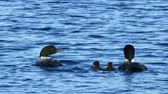 vadio : Minnesota State Bird, Common loon family or great northern divers - Gavia immer - two adults and two babies. Vídeos