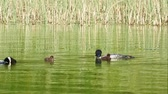 vadio : Minnesota State Bird, Common loon family or great northern divers - Gavia immer - two adults feeding two babies.