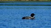 vadio : Common loon or great northern diver - Gavia immer - Minnesota State Bird swimming in a lake in Bemidji.