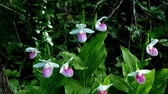 orchidea : Showy Ladys-slippers - Cypripedium reginae - also known as Pink-and-white Ladys-slipper or the Queens Ladys-slipper. Beautiful Minnesota State Flower - pink and white in authentic natural setting Wideo