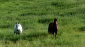 грива : Pair of horses eating grazing fresh green grass in farm pasture on a summer evening Стоковые видеозаписи