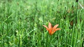 orange daylily : Single orange day lily daylily in green forest setting waving gently in the breeze
