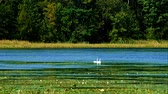 kegyelem : Swans in forest lake wetlands swimming among lily pads on sunny day in Minnesota Stock mozgókép