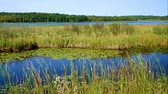 Лилли : Cat tails and lily pads floating in the wetlands near shore of lake in northern Minnesota. Стоковые видеозаписи