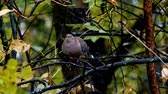 observação de aves : American Mourning Dove zenaida macroura or rain dove perched on tree branch fluffs feathers and turns around Stock Footage