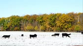 düve : Angus cow beef cattle grazing in snow pasture in Minnesota on sunny autumn day with colorful leaves on trees