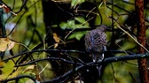 poleiro : Chickadee black capped, Poecile atricapillus,and American Mourning Dove, zenaida macroura, or rain dove perched on tree branch Stock Footage