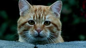 focinho : Curious Tabby Cat cautiously stares over wall at the close camera before looking away