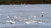 kegyelem : Many Tundra Swans, Cygnus columbianus, swimming on wild rice paddy in northern Minnesota with Canada Geese and Ducks