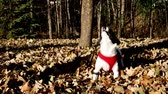plnokrevník : Happy black and white dog Terrier pulls on leash, playing in the autumn leaves