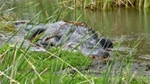 crocodilo : An American alligator, Alligator mississippiensis, crawling in a marsh at a Port Aransas, Texas nature preserve. Stock Footage