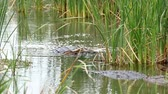 dişler : Two American alligators, Alligator mississippiensis, crawling in water of marsh at a Port Aransas, Texas nature preserve.