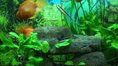 waterplant : Beautiful aquarium with gold fish Stock Footage