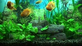 waterplant : Beautiful aquarium with gold fishes
