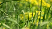weather : Macro view of fresh green grass weaving by the wind