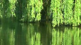 river : Willows on the water