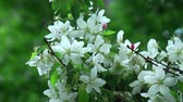 windy : Blossoming white apple tree Stock Footage
