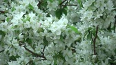 blossoming : Blossoming white apple tree Stock Footage