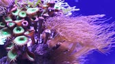 aquarium : Scenic ultra HD 4K video with macro view of color corals in underwater tropical sea