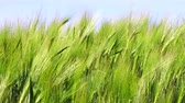 agriculture : Creative abstract agriculture and farming natural industry concept: Ultra HD 4K video footage of green wheat field in summer Stock Footage
