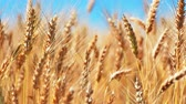 büyümek : Creative abstract agriculture, farming and harvesting concept: macro view of fresh ripe wheat ear plants at the summer wheatfield and blue sky with selective focus effect