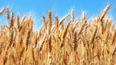 milharal : Creative abstract agriculture, farming and harvesting concept: macro view of fresh ripe wheat ear plants at the summer wheatfield and blue sky with selective focus effect