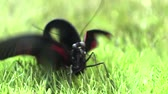 larvae : Just hatched butterfly Stock Footage