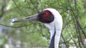 göç : Curious Crane,Portrait of demoiselle crane