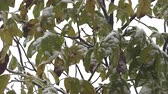 kristallen : First snow on green leaves of trees