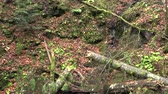 boreal : Broken tree in a forest glade,slow motion
