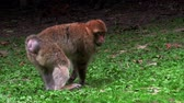 macaco : Adult Barbary Monkeys in search of nutrition Vídeos