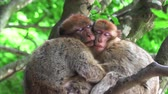 preservar : Two monkeys hugging an sleeping on a tree Stock Footage