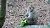 memeli : Adult Barbary Monkeys in search of nutrition Stok Video