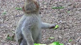 gorila : Adult Barbary Monkeys in search of nutrition Archivo de Video