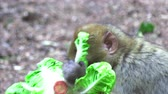 marruecos : Adult Barbary Monkeys in search of nutrition Archivo de Video
