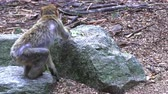 primát : Adult Barbary Monkeys in search of nutrition Dostupné videozáznamy