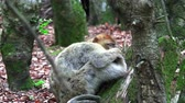opice : Barbary monkeys sleep on earth with the whole family