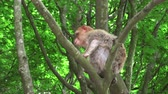 marocco : Barbary monkey eats salad on the tree Filmati Stock