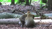 수면 : Barbary monkeys sleep on earth with the whole family